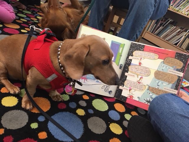 Blondie the dachshund dog sitting next to an open kids book
